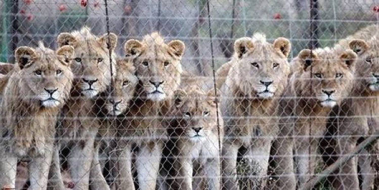 Industry-condemns-Phasa-for-approving-canned-wildlife-hunting-800x400
